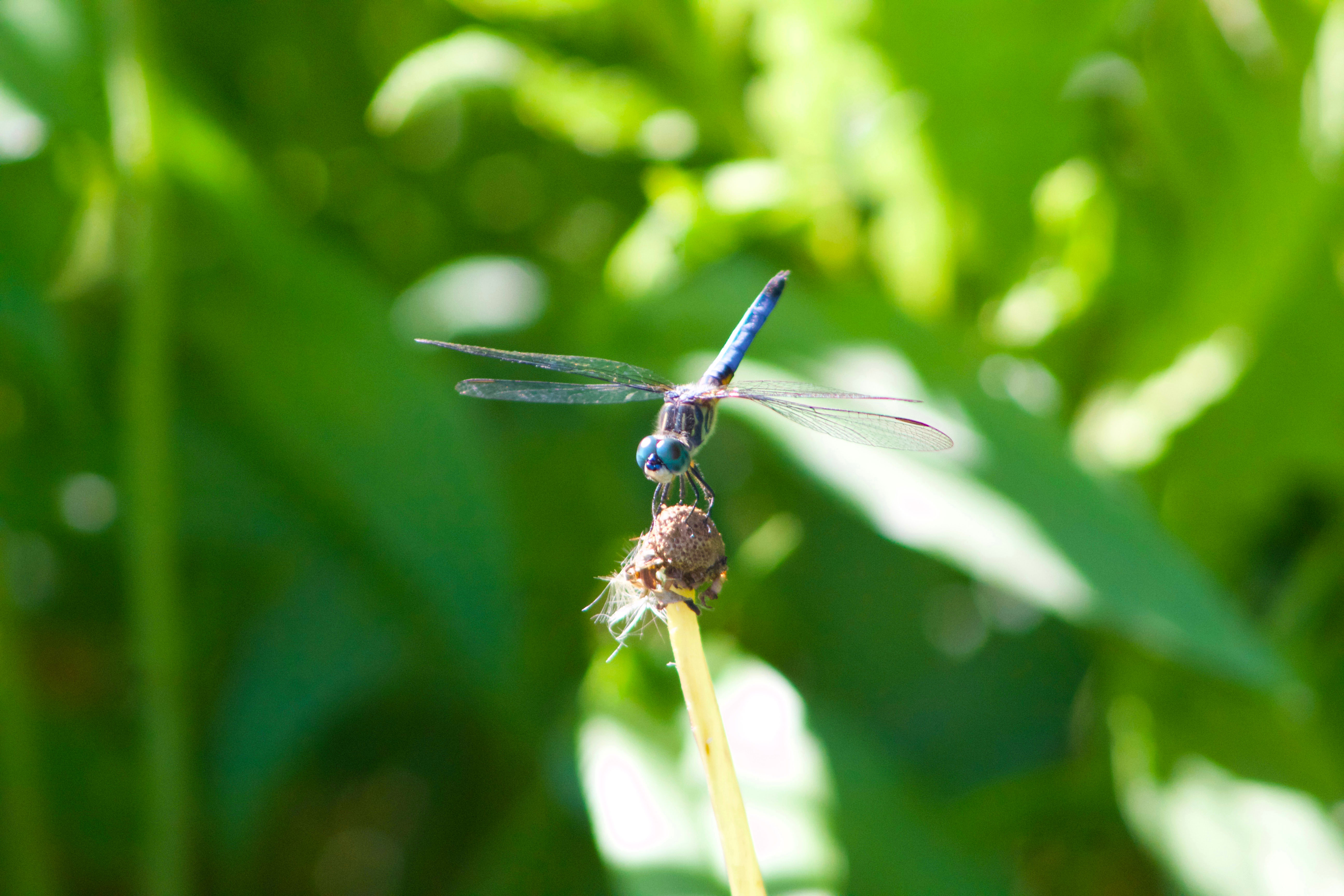 Blue dragonfly front view